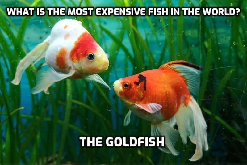 Goldfish pun text