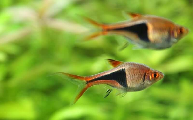 Two Harlequin Rasboras swimming together in a freshwater aquarium