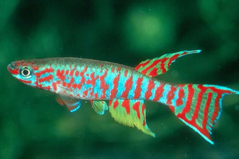 A colorful Killifish