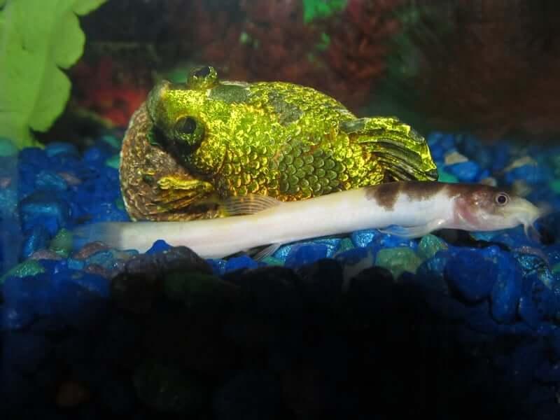 Misgurnus anguillicaudatus moving quickly through the tank