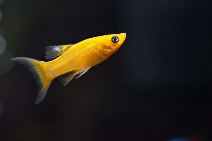 A yellow Molly Fish in a dim tank