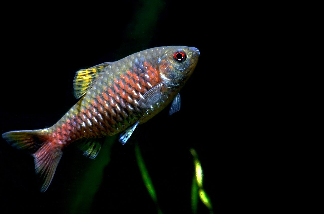 A male Odessa Barb at feeding time