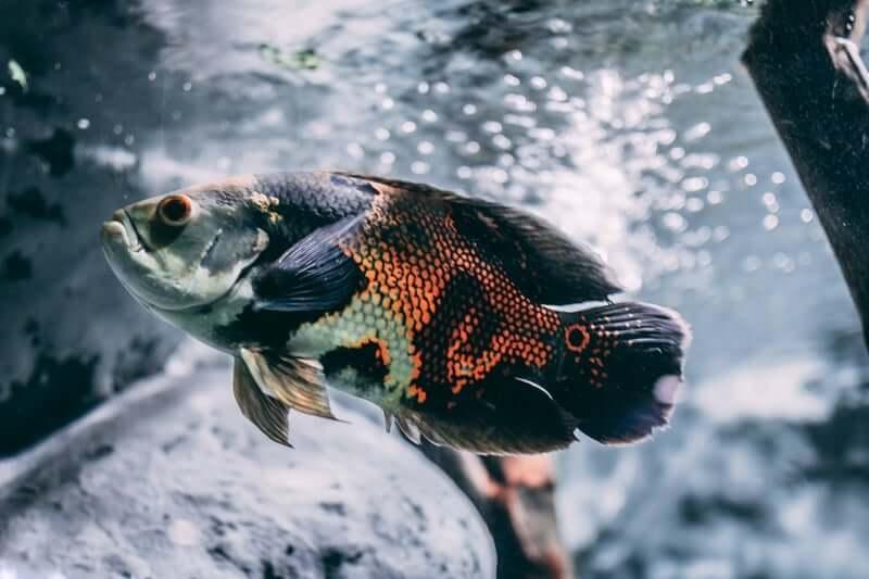 Oscar Fish in a freshwater aquarium