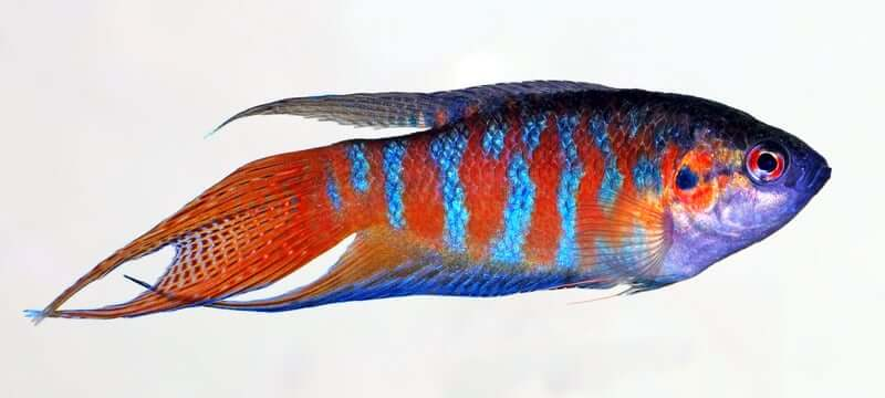 A red, blue, and purple Paradise Fish