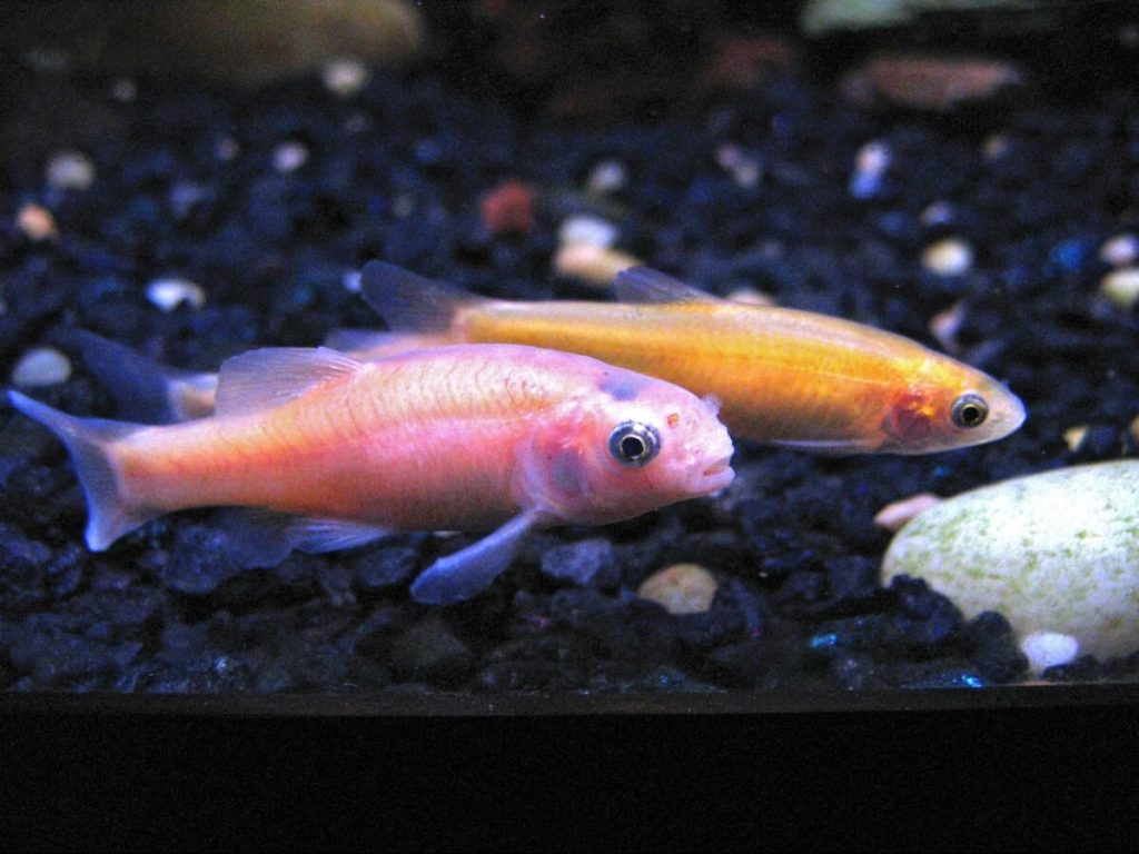 Two Rosy Red Minnows looking for food on the substrate