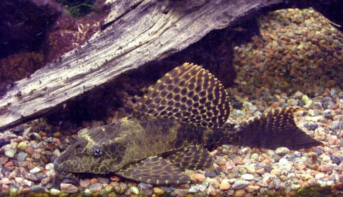 A Sailfin Pleco cleaning the bottom of driftwood
