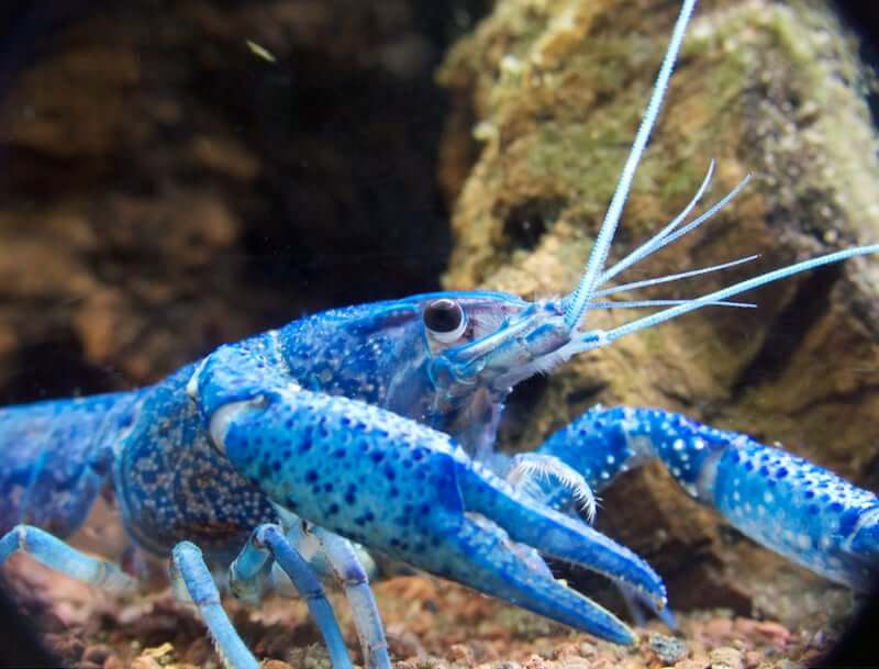 The Sapphire Crayfish walking around in the tank