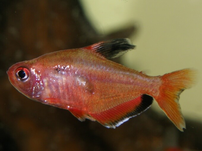 A close up view of the Serpae Tetra