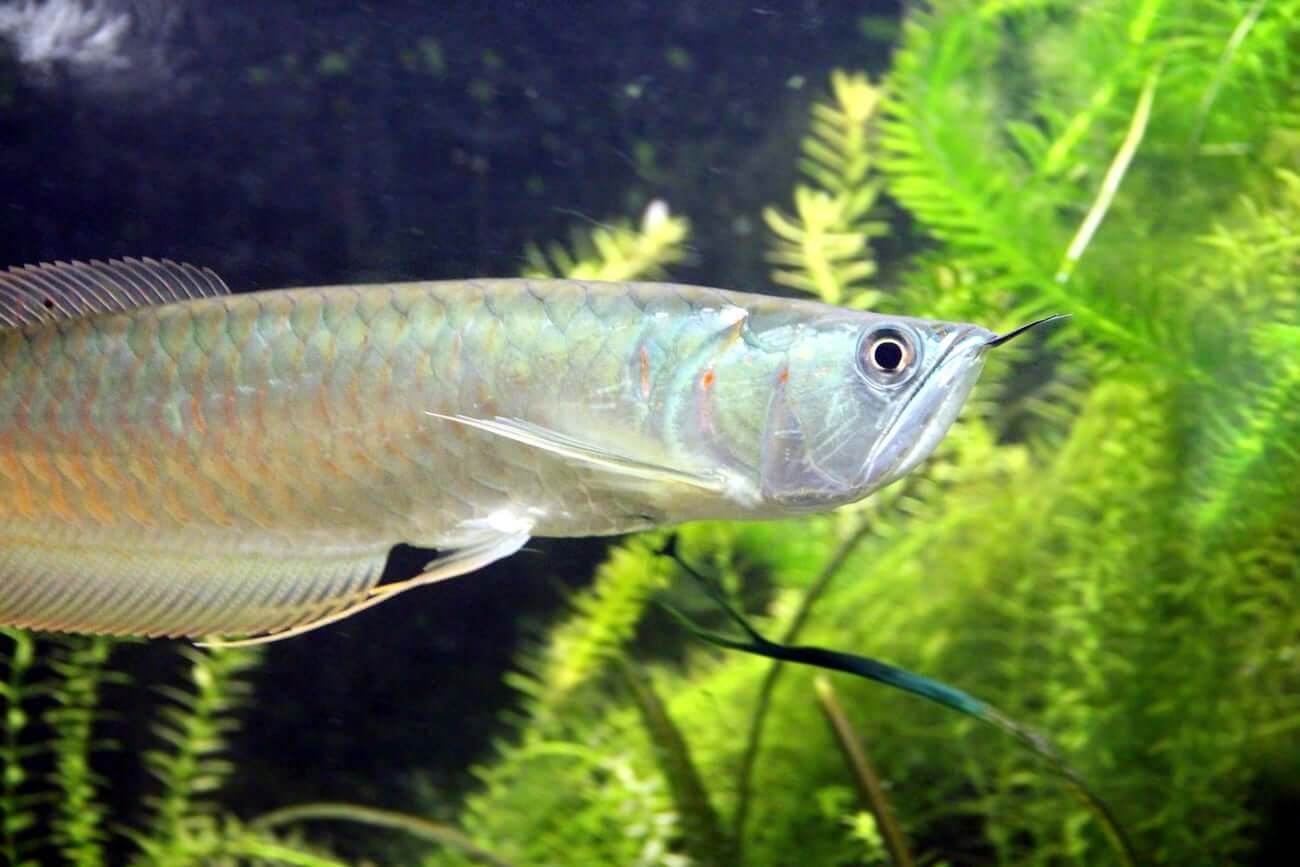 One Silver Arowana swimming in an aquarium