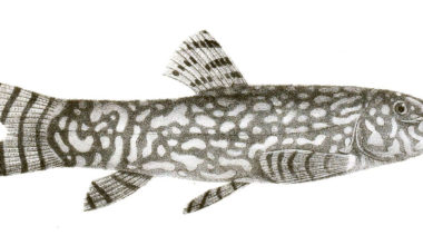 An illustration of a Yoyo Loach