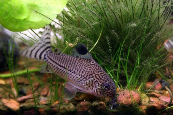 An Cory Catfish swimming at the bottom of an aquarium