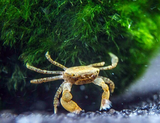 Freshwater crab scavenging for food in an aquarium
