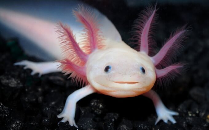 A close up of an Axolotl