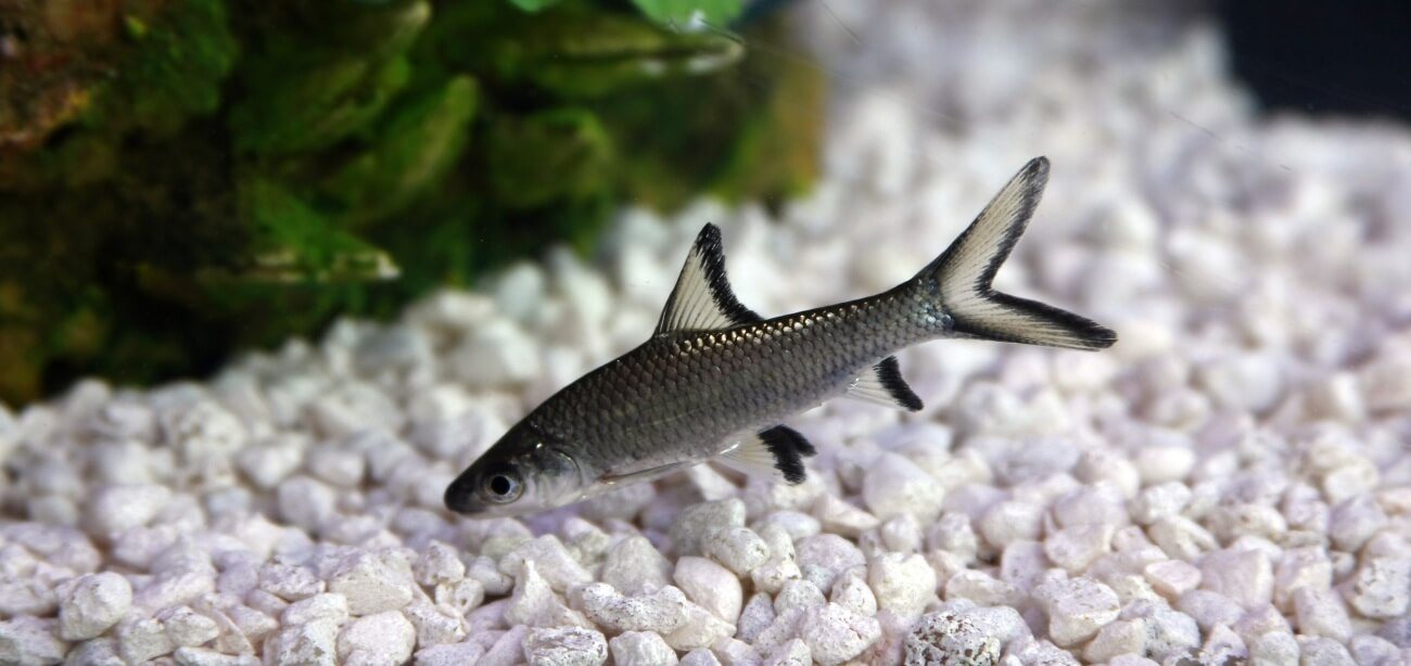 A Bala Shark swimming in a freshwater aquarium