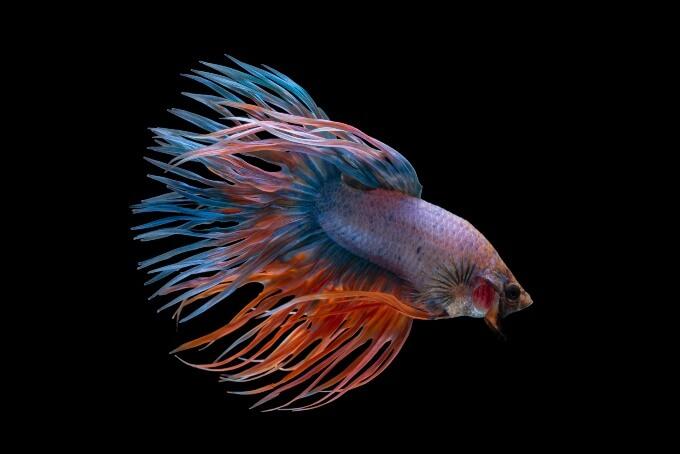 A colorful Betta Fish living in a small aquarium