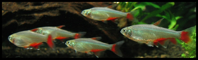 A group of Bloodfin Tetras swimming in a tank with no heater