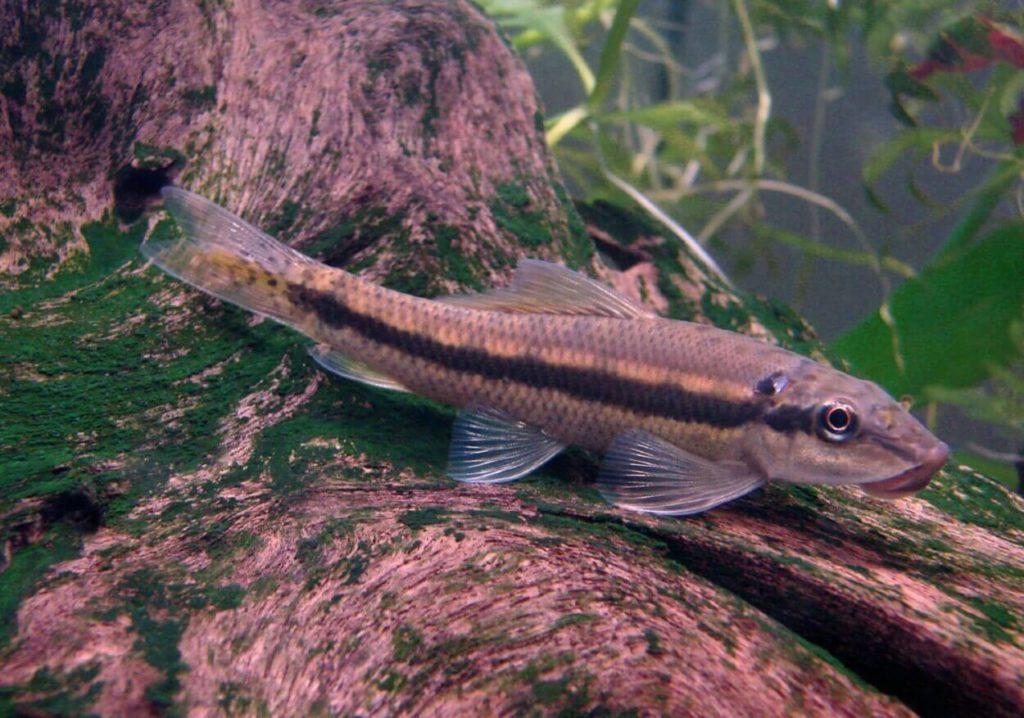 A freshwater aquarium catfish resting on a log