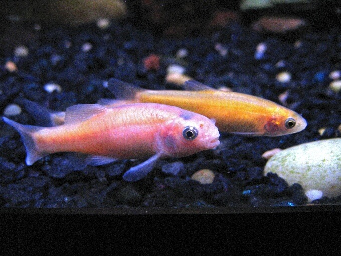 Two cold water Rosy Red Minnows