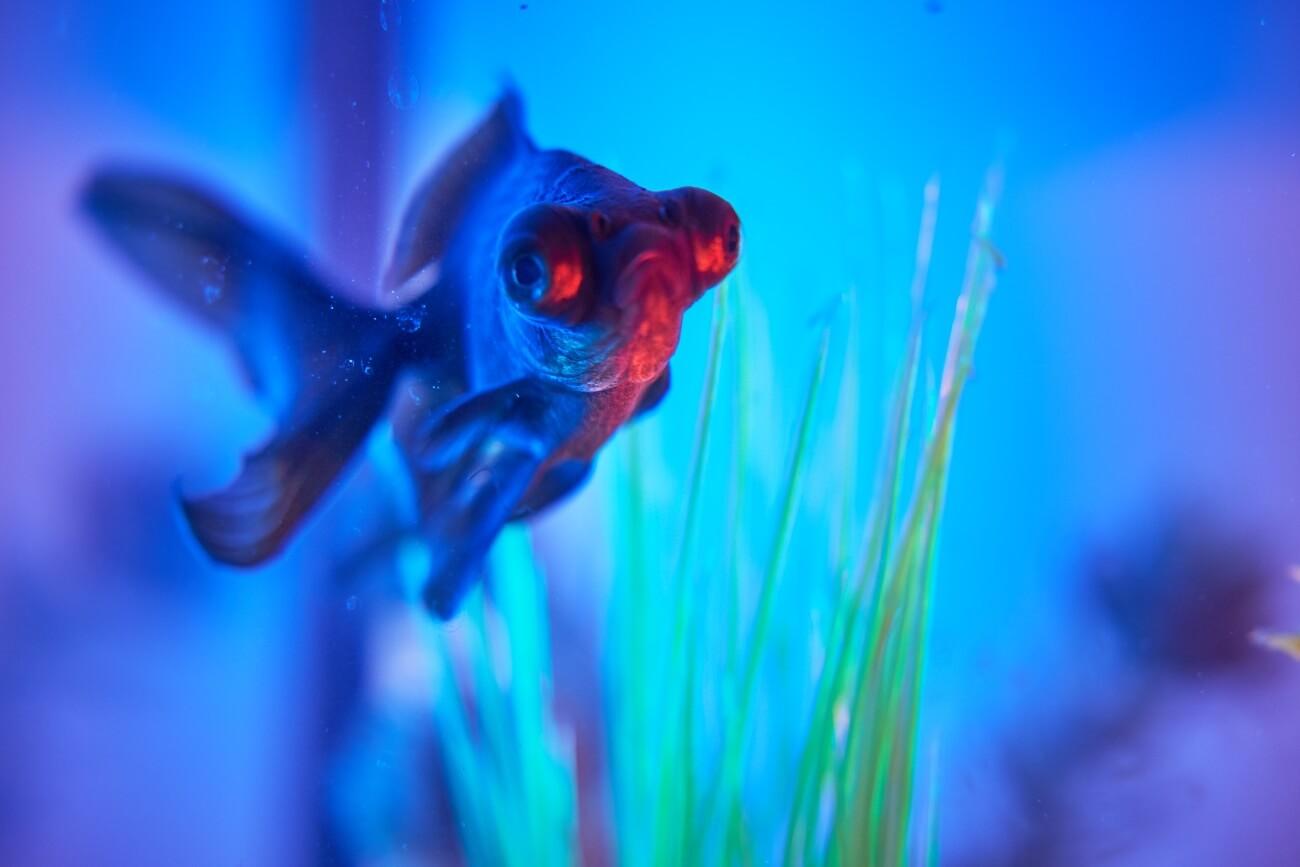 An aquarium that has undergone successful dropsy treatment