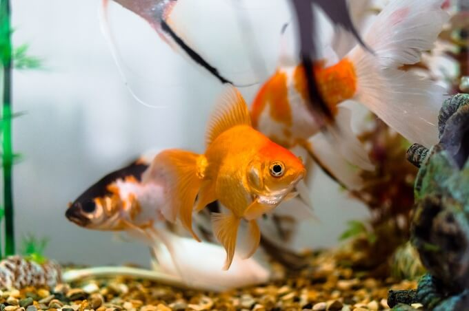 A group of fancy goldfish in a cold water aquarium