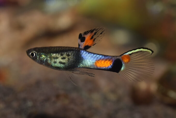 One fancy guppy swimming by itself