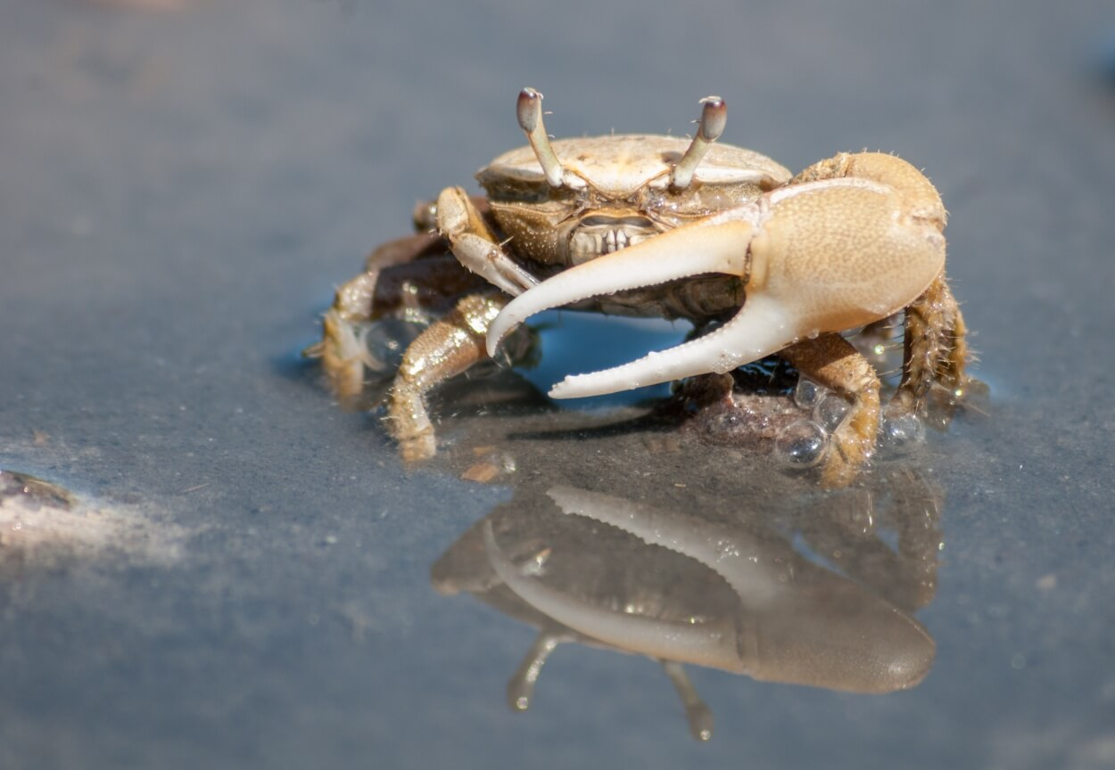 A Fiddler freshwater aquarium crab facing the camera