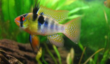 A German Blue Ram Cichlid swimming in a planted freshwater tank