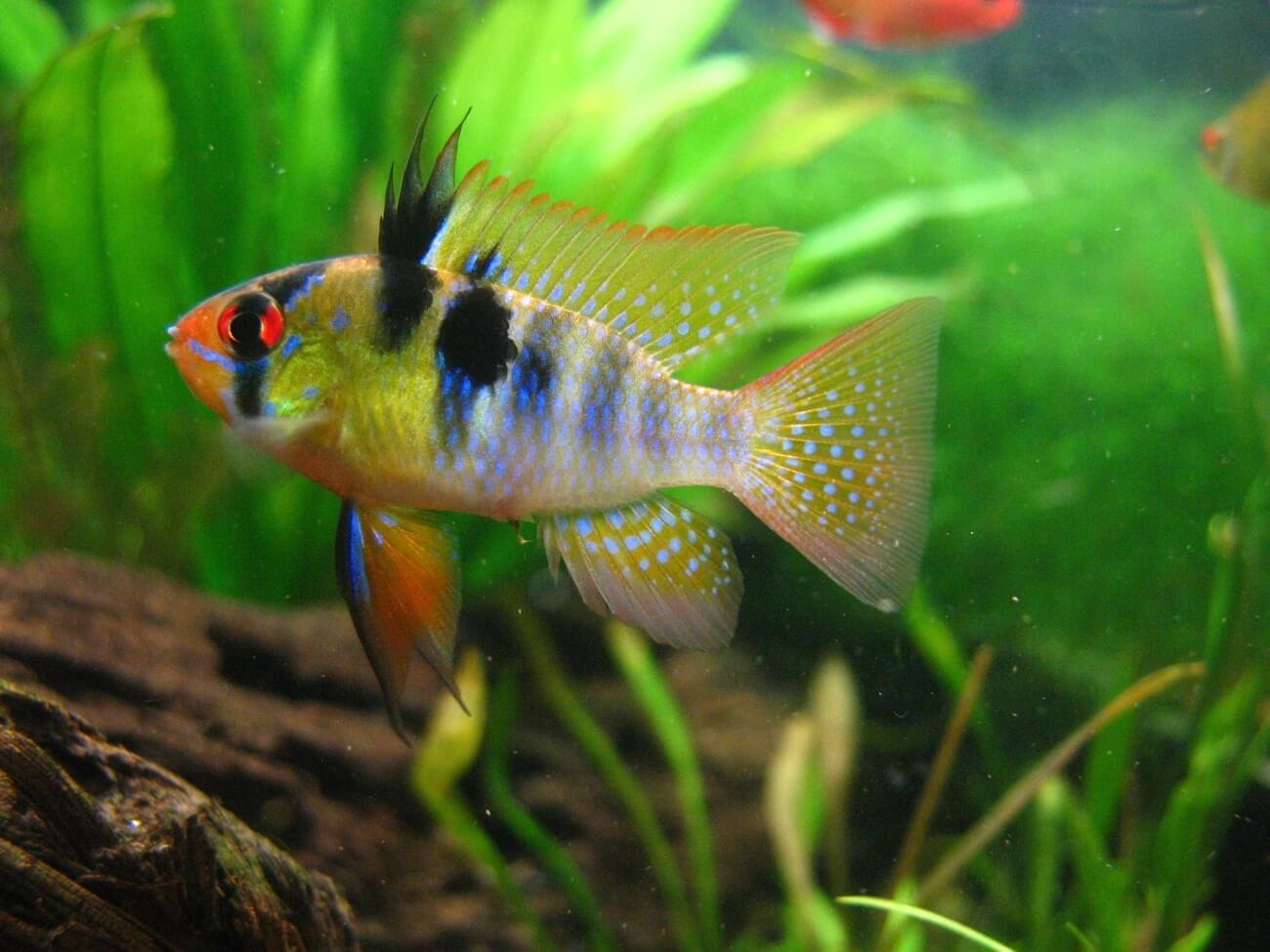 German Blue Ram 101 Care Breeding Tank Mates