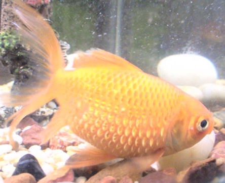 A goldfish with dropsy
