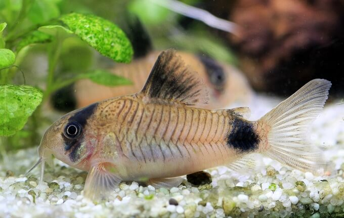 A Panda Corydoras resting on the substrate