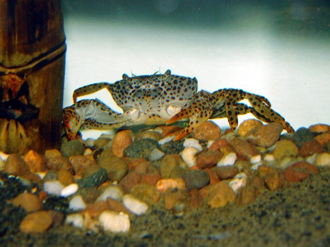 A Panther Crab standing on gravel substrate