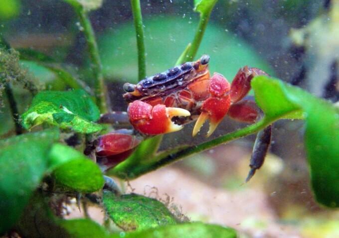 Perisesarma bidens looking for food in an aquarium