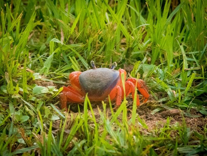 Rainbow Land Crab with its back to the camera