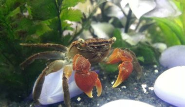 A Red Claw Crab by itself in a brackish tank