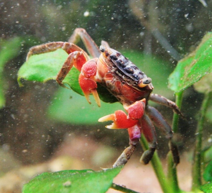 One Red Claw Crab sitting on top of a plant