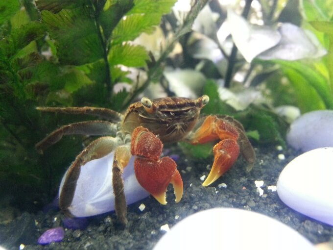 Red Claw Crab in a freshwater tank