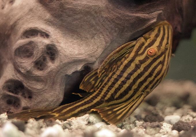 A unique type of pleco species called the Royal pleco