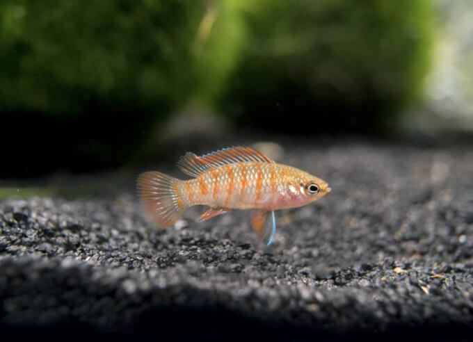 One Scarlet Badis by itself in a tank