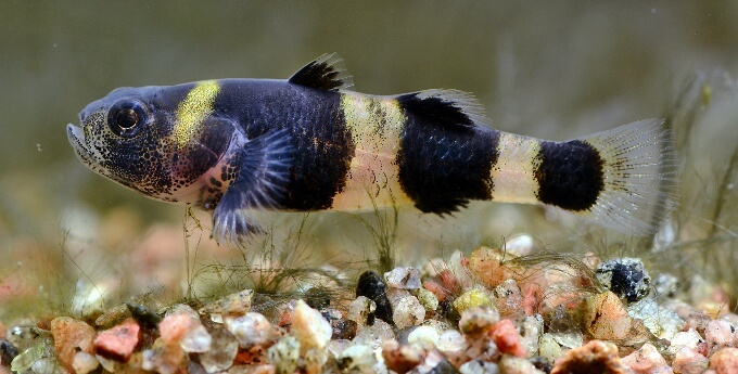 Bumblebee Goby swimming above the substrate in a small tank