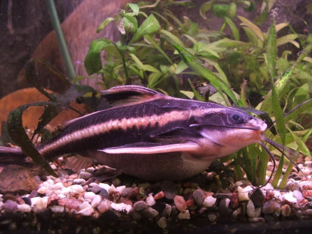 A Striped Raphael Catfish scavenging near the aquarium substrate