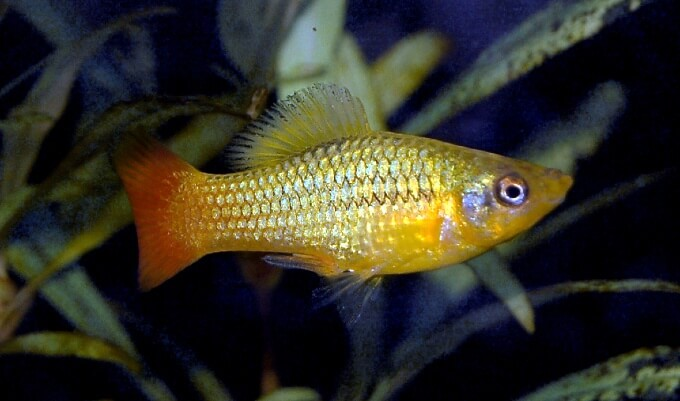 Sunset Variatus Platy swimming by itself