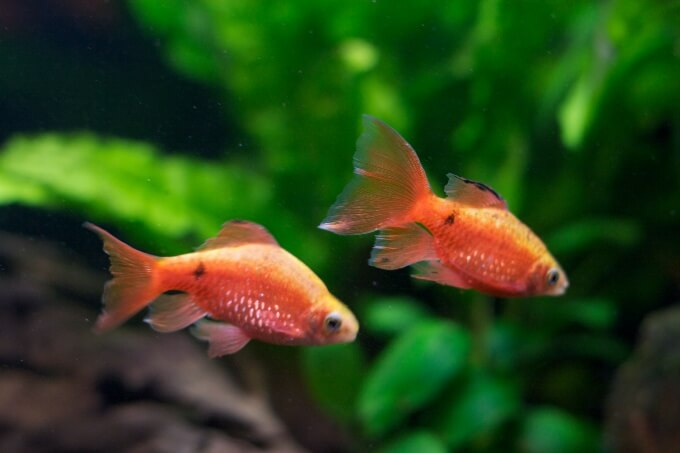 Two Rosy Red Barbs swimming together