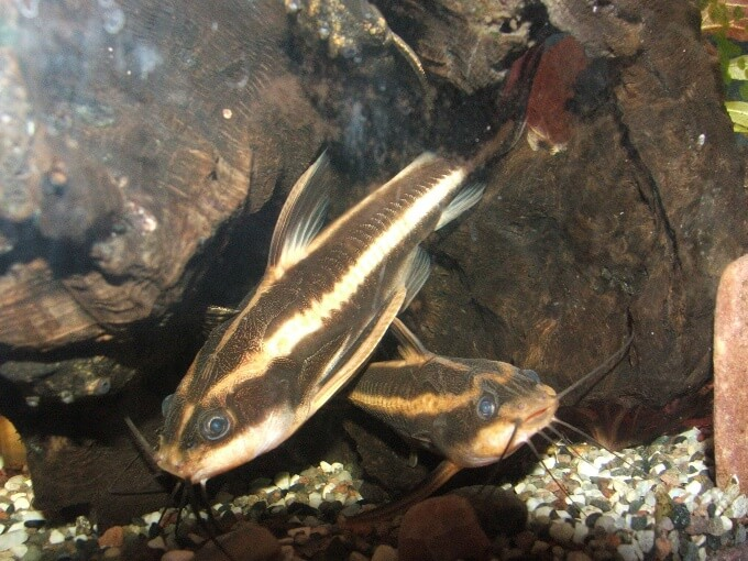 Two Striped Raphael Catfish swimming together