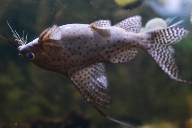 An Upside Down Catfish joining the group in a freshwater aquarium