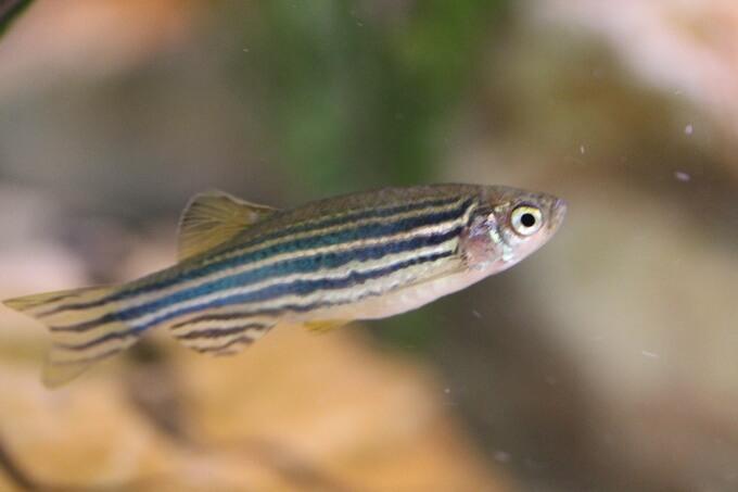 A Zebra Danio nano fish in semi-clean water