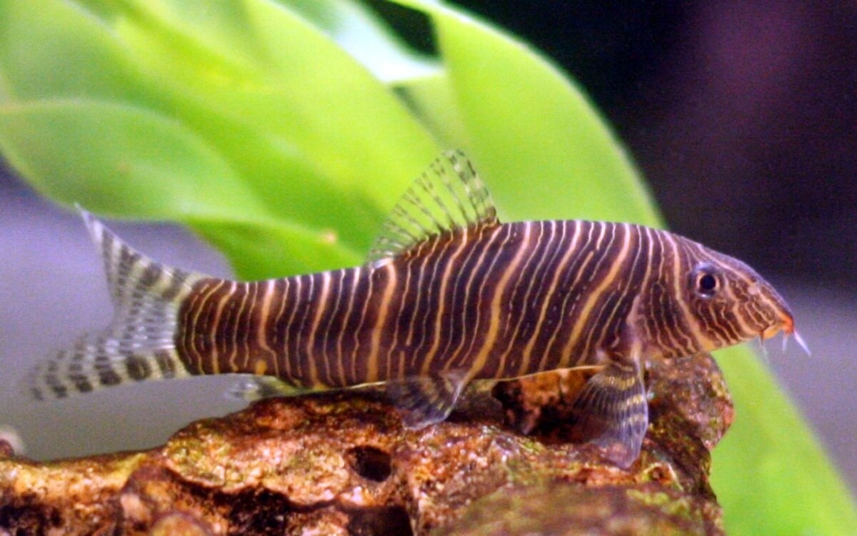 A Zebra Loach resting on a piece of wood