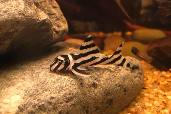 One Zebra Plecostomus resting on a rock