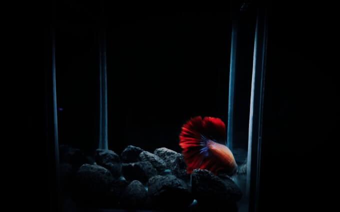 A Betta fish sleeping