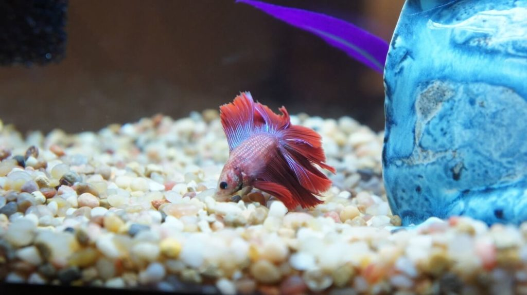 A Betta fish swimming near the substrate before it sleeps