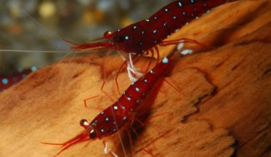 Two Cardinal Sulawesi Shrimp in a freshwater aquarium